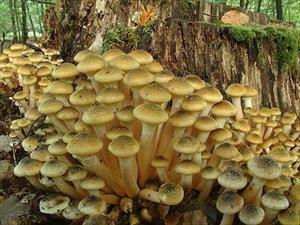 Chiodini (Armillaria mellea - foto dal web)