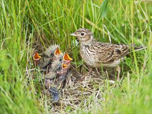 Allodola al nido (dal sito web vogelwarte.ch)